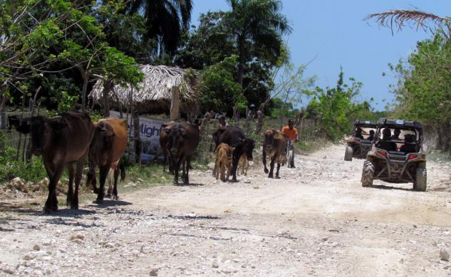 Dominican Republic Cows